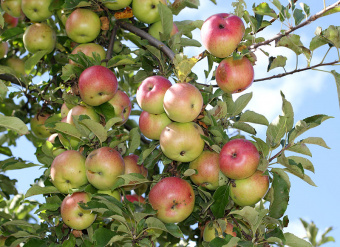 Apples on an apple-tree. Ukraine.